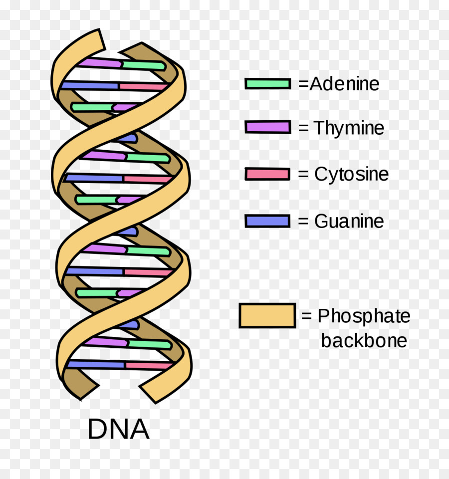 dna diagram clipart DNA replication Diagram