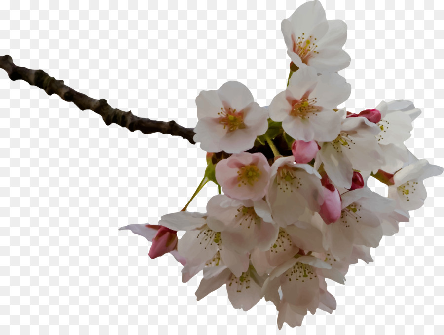 cherry blossom png clipart Cherry blossom