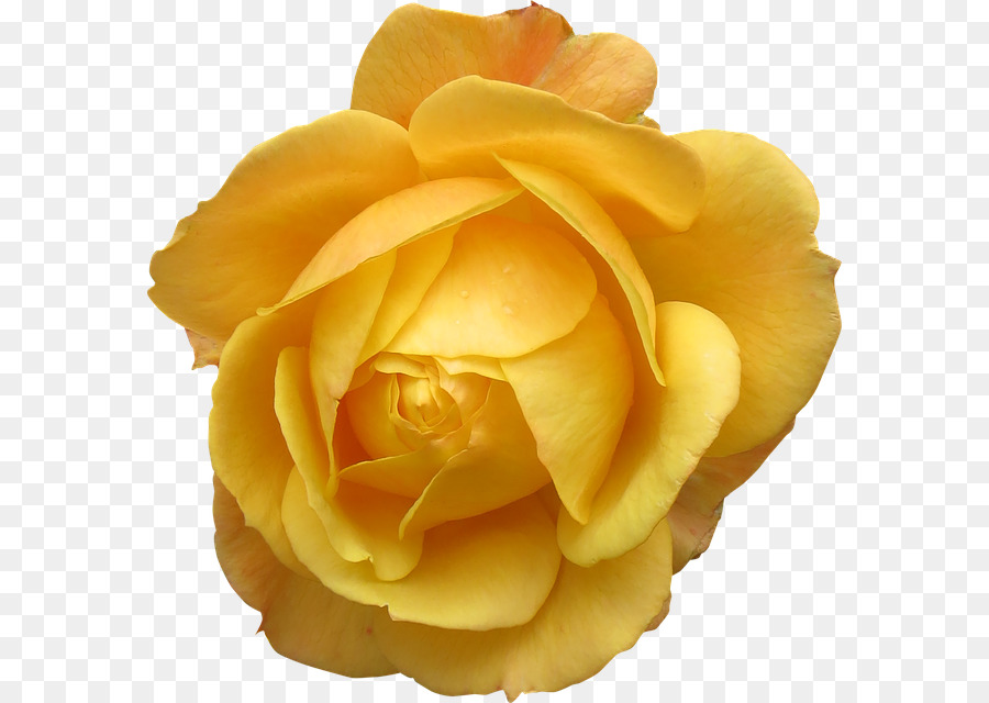Rose Flower Yellow Transparent Png Image Clipart Free Download