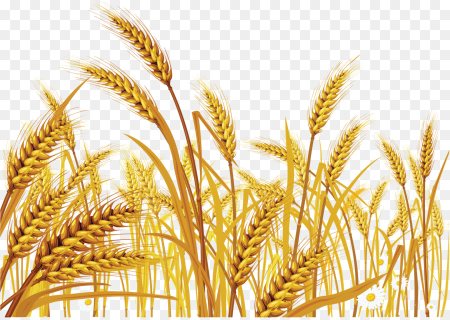 wheat clipart Cereal Common wheat Clip art