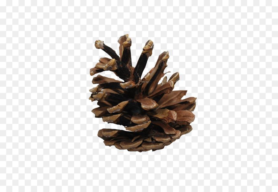 pine cone png clipart Conifers Lodgepole pine Scots pine
