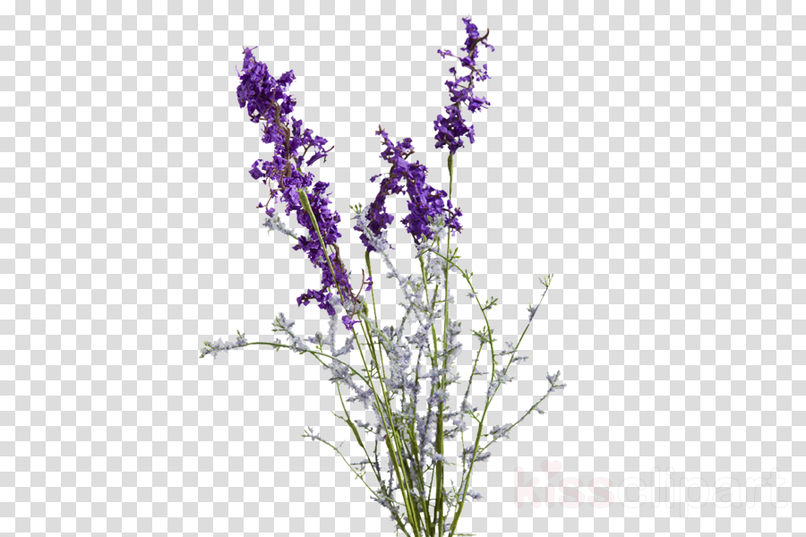 lavender drawing png clipart English lavender Drawing THANKS