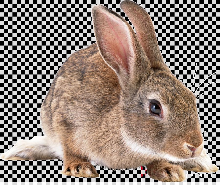 rabbit png clipart Domestic rabbit Rex rabbit Netherland Dwarf rabbit