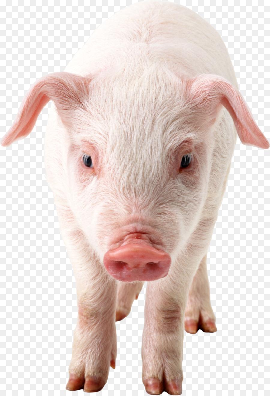 pigs transparent background clipart Domestic pig