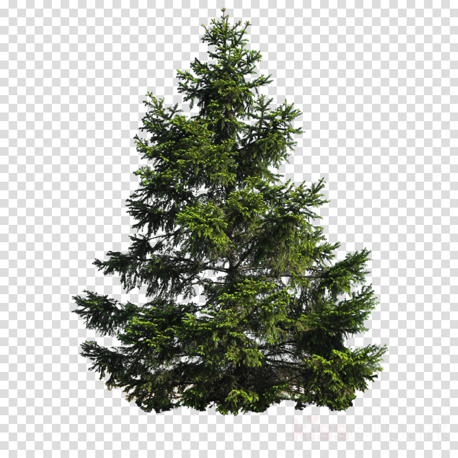 pine tree png clipart Stone pine Clip art