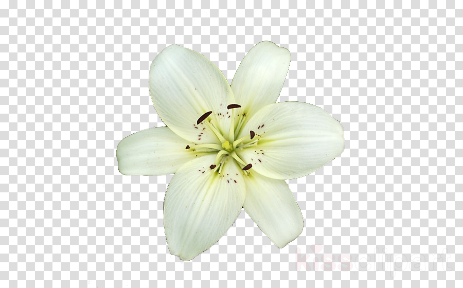 lily clipart Madonna Lily Lilies Easter lily