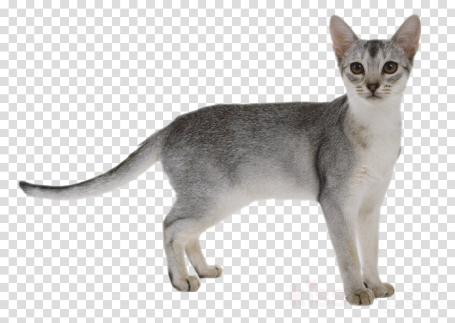 cat png clipart British Shorthair American Shorthair Persian cat