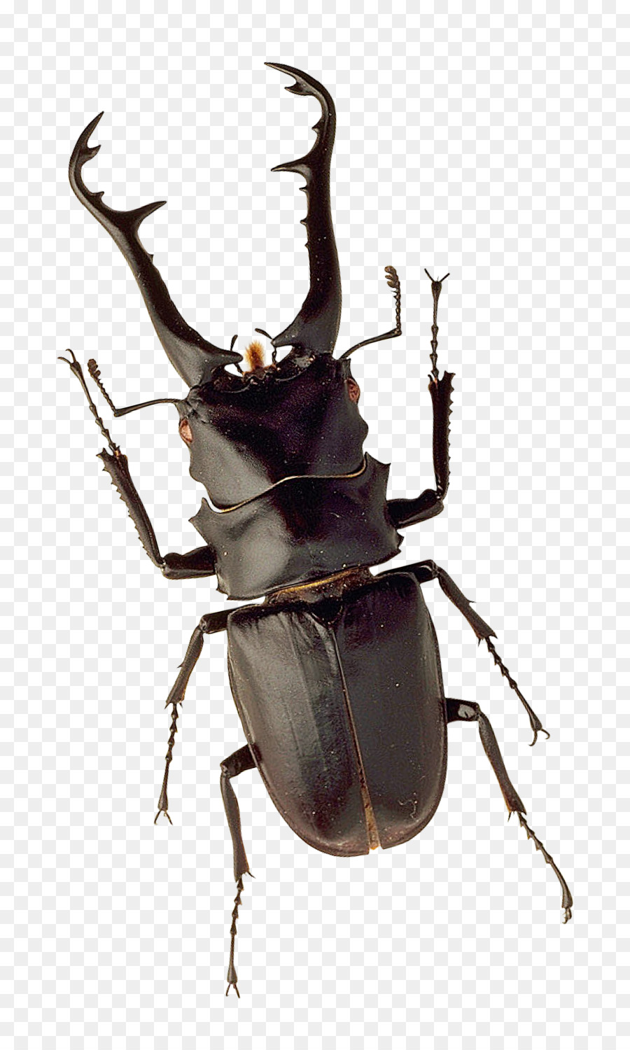 Portable Network Graphics clipart Beetle
