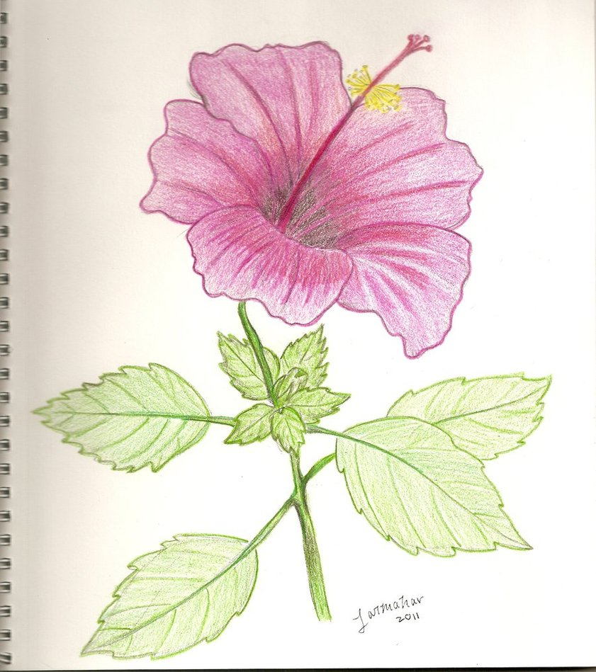 Download easy drawing of hibiscus flower clipart how to draw easy drawing of hibiscus flower clipart how to draw rosemallows drawing izmirmasajfo