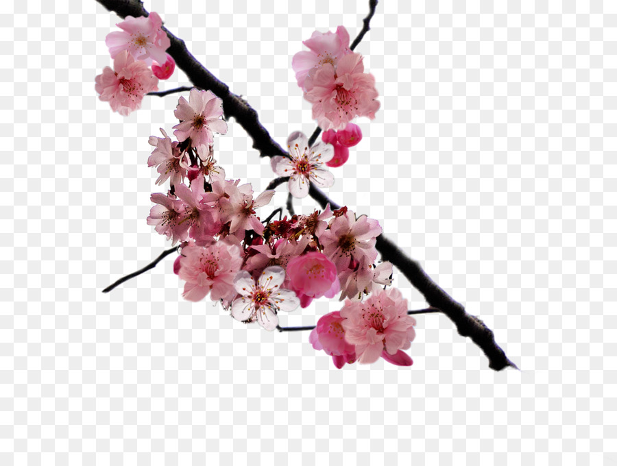 cherry blossom branch png clipart Cherry blossom Clip art