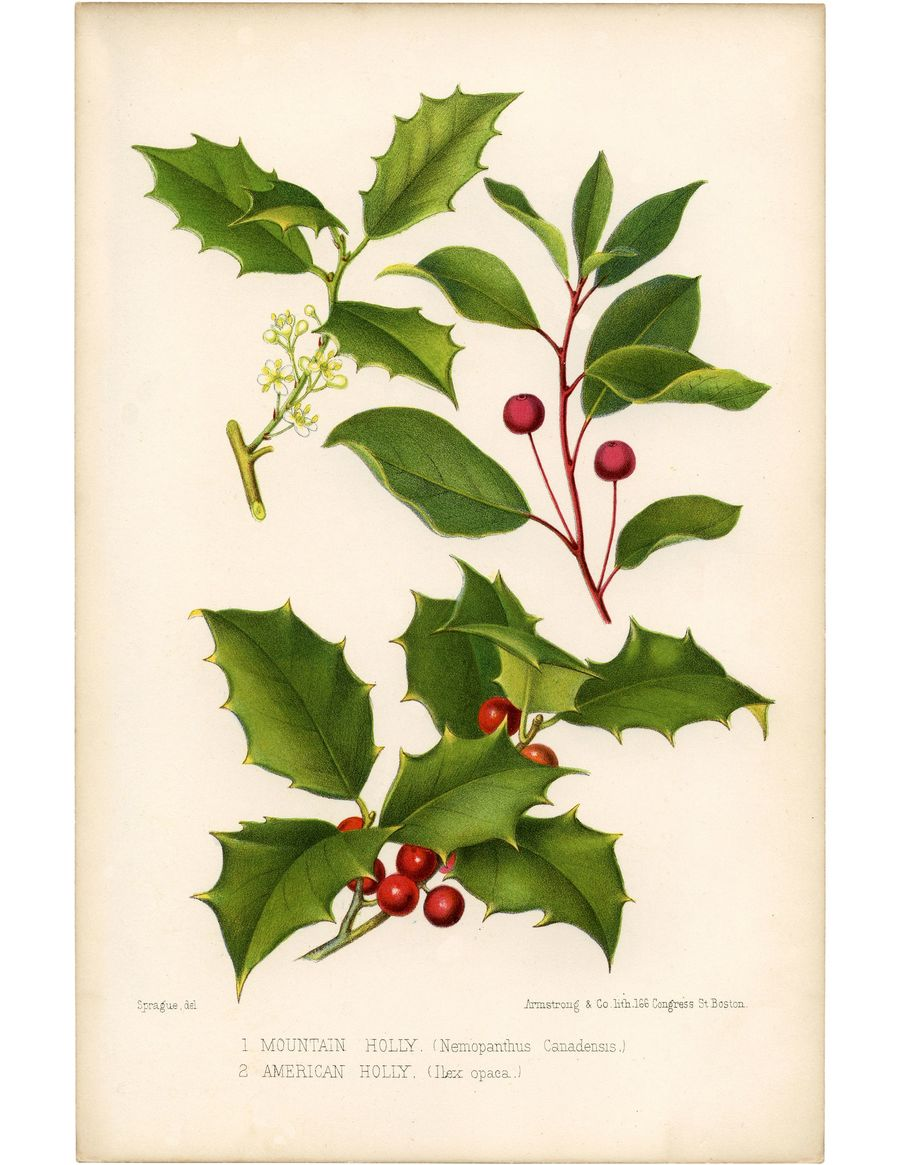 download vintage holly clipart botany drawing clip art botany