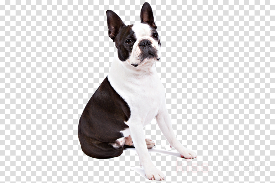 boston terrier dog png clipart Boston Terrier French Bulldog
