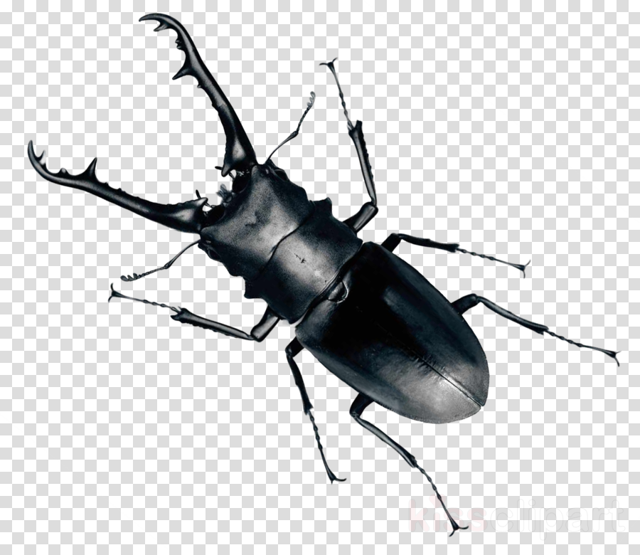 beetle png clipart Beetle