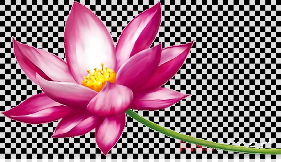 Flower Pink Lotus Transparent Png Image Clipart Free Download