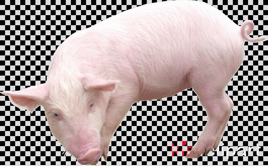 pig png clipart Domestic pig Clip art