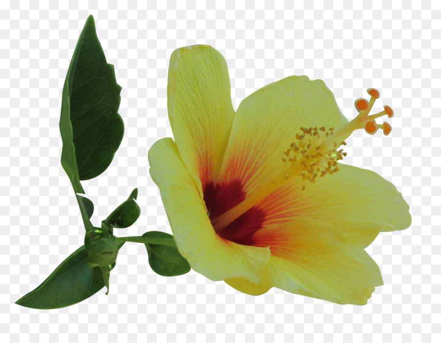 Flower Plant Hibiscus Transparent Png Image Clipart Free Download