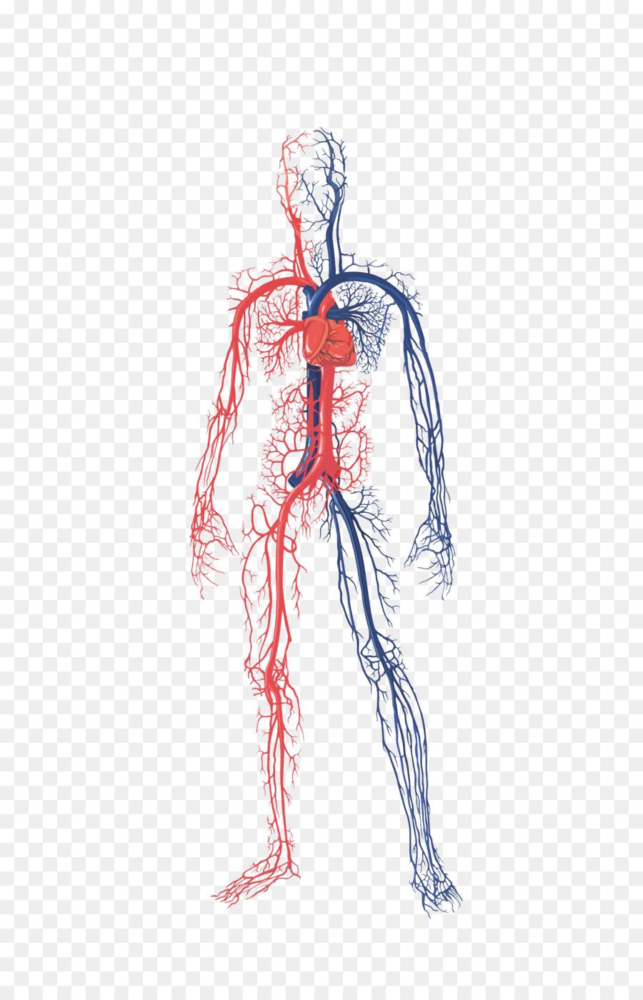 Download Circulatory System Of A Human Body Clipart Circulatory