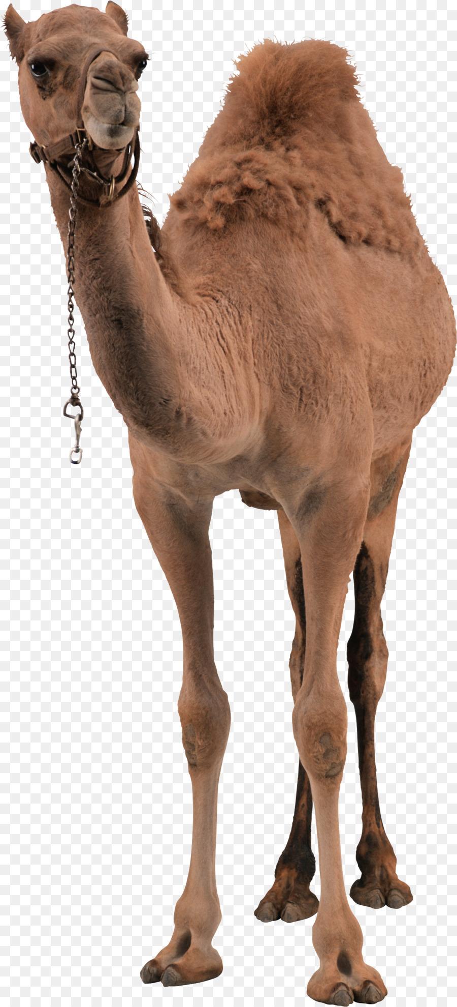 camel transparent png clipart Dromedary Bactrian camel