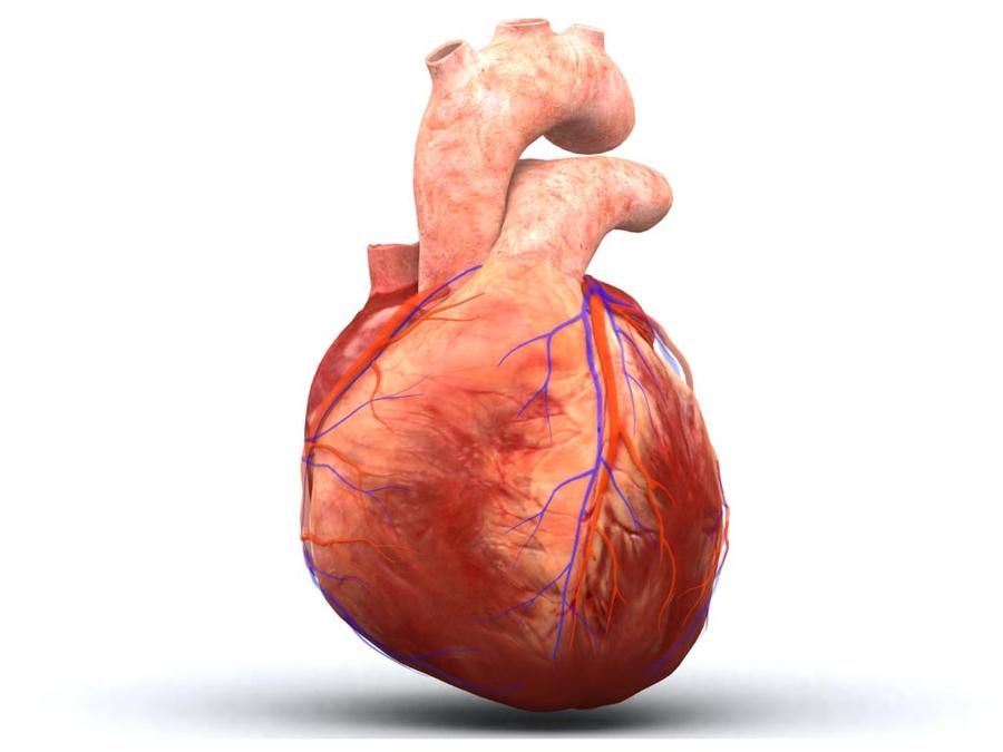Download Dog Heart Vs Human Heart Clipart Heart Human Body Anatomy
