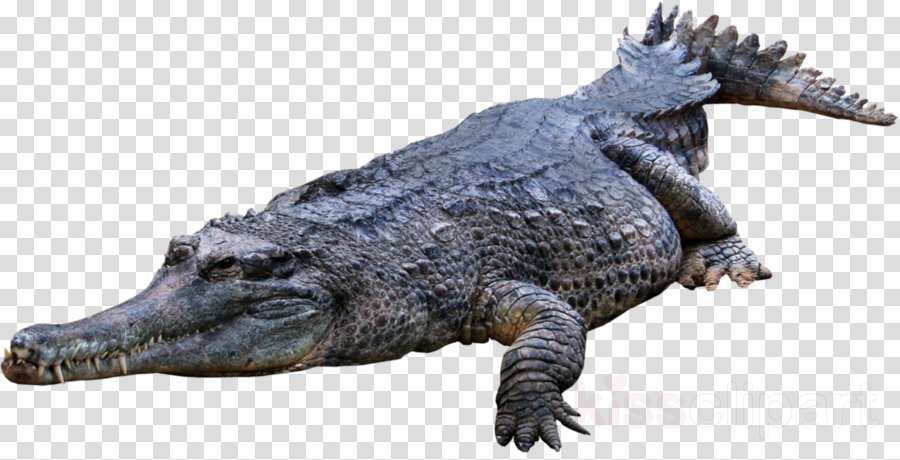 gator transparent background clipart American alligator Crocodile