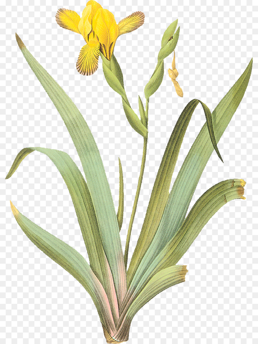 Download irises clipart the most beautiful flowers painting botany irises clipart the most beautiful flowers painting botany izmirmasajfo