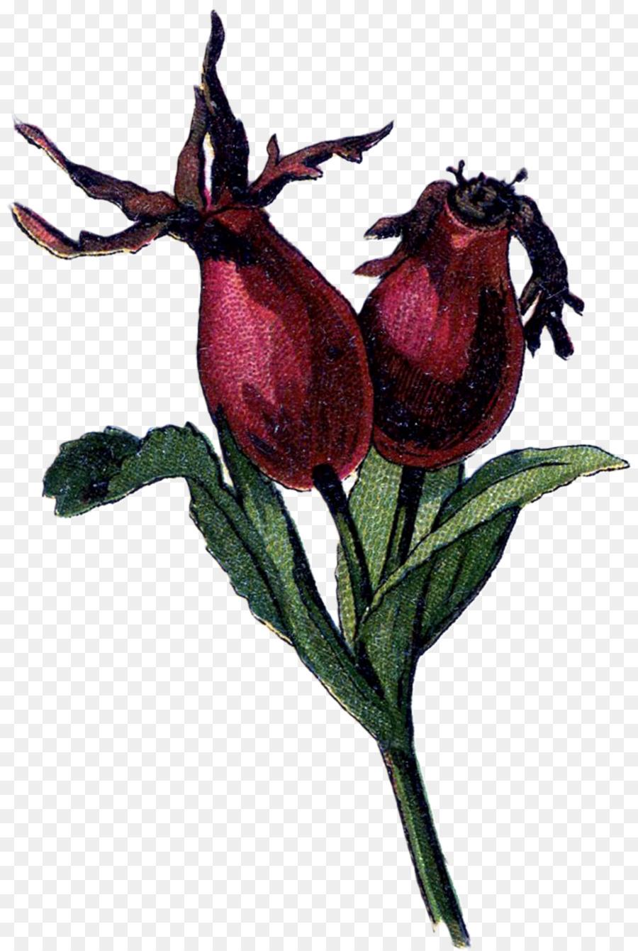 Rose hip clipart Rose hip Dog-rose Rose family