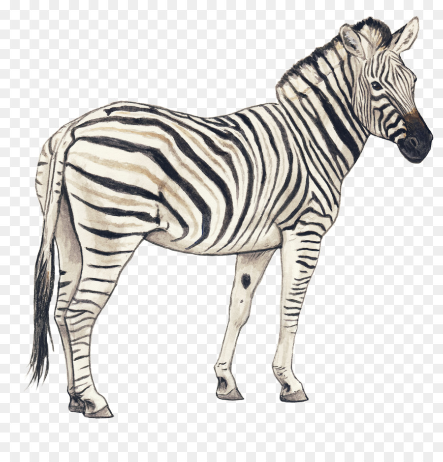 Horse drawing sketch transparent png image clipart free download