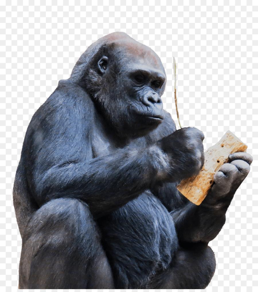 chimps stone age clipart Gorilla Primate Common chimpanzee
