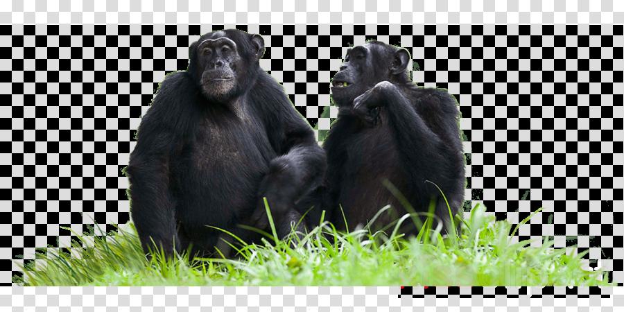 chimpanzee transparent background clipart Common chimpanzee Western gorilla Primate
