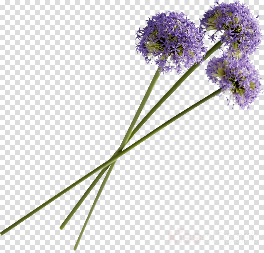 Portable Network Graphics clipart English lavender