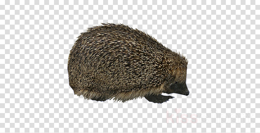 european hedgehog png clipart Domesticated hedgehog