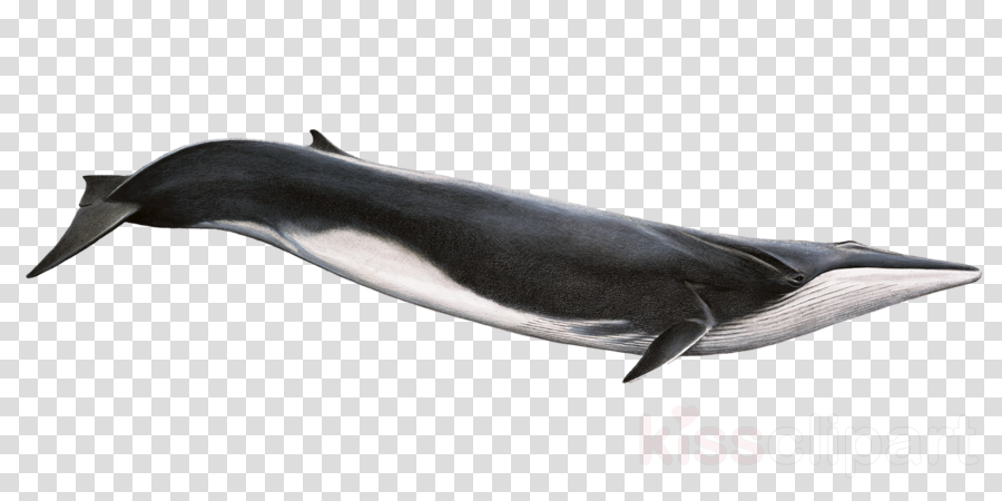 fin whale png clipart Fin whale Killer whale Cetacea