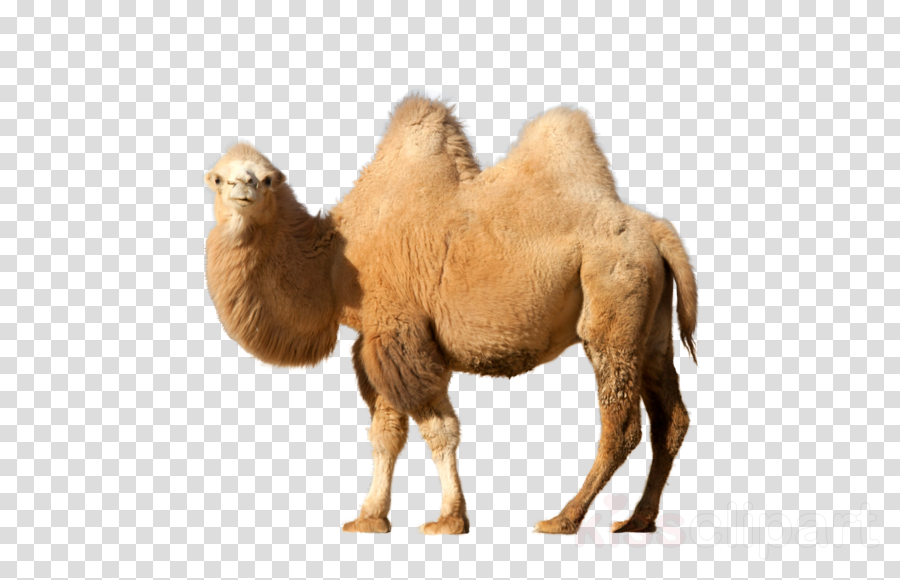 camel transparent background clipart Dromedary Bactrian camel