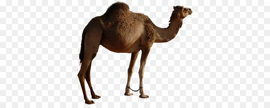 camel png clipart Camel