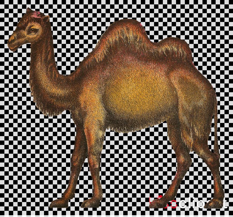 Clip art clipart Dromedary Bactrian camel Clip art