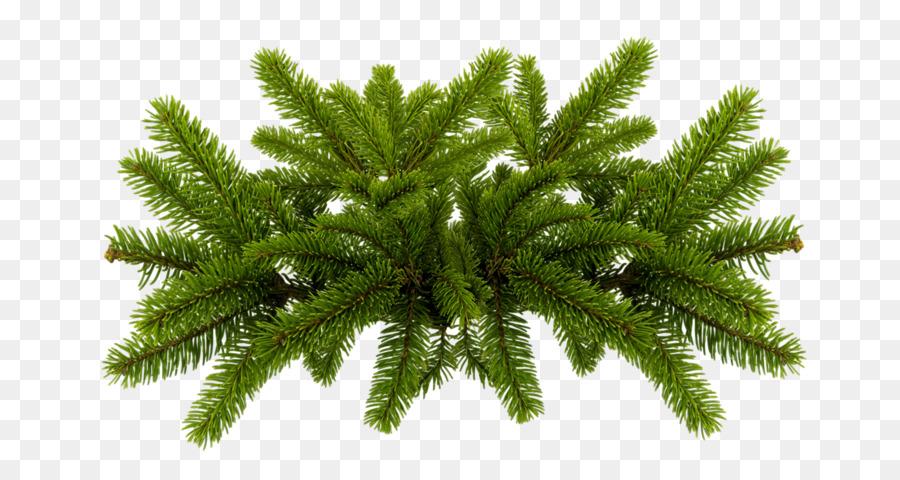 pine needles png clipart Pine Fir