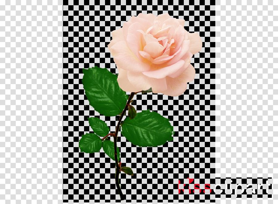 Clip art clipart Garden roses Cabbage rose Clip art