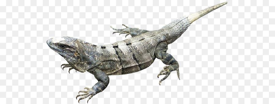 amphibian clear background clipart Amphibians Lizard