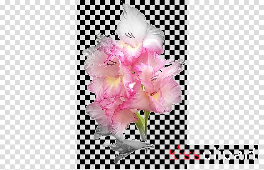 Photograph clipart Cut flowers Gladiolus