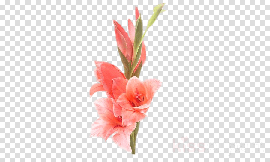 coral gladiolus flowers png clipart Gladiolus Flower Iris family