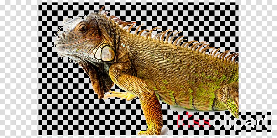 green iguana png clipart Common Iguanas Reptile Green iguana
