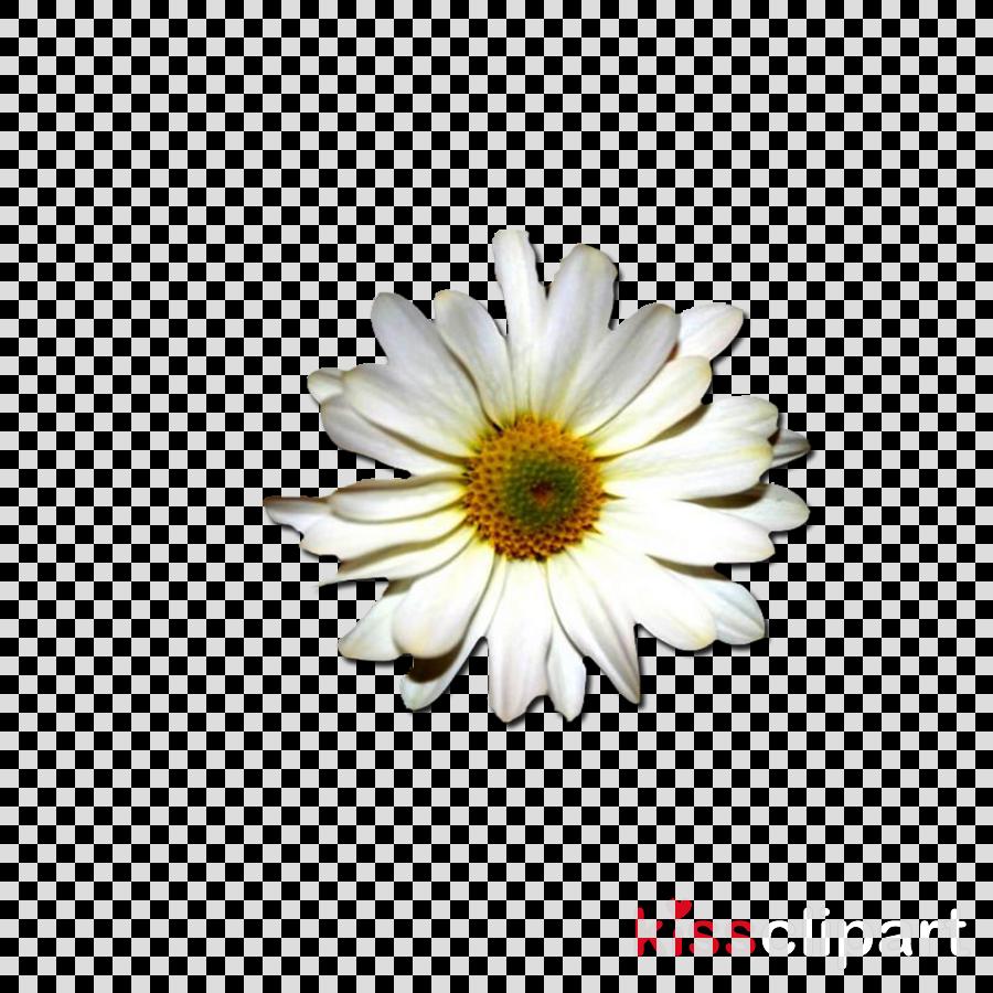 Wallpaper clipart Common daisy Desktop Wallpaper
