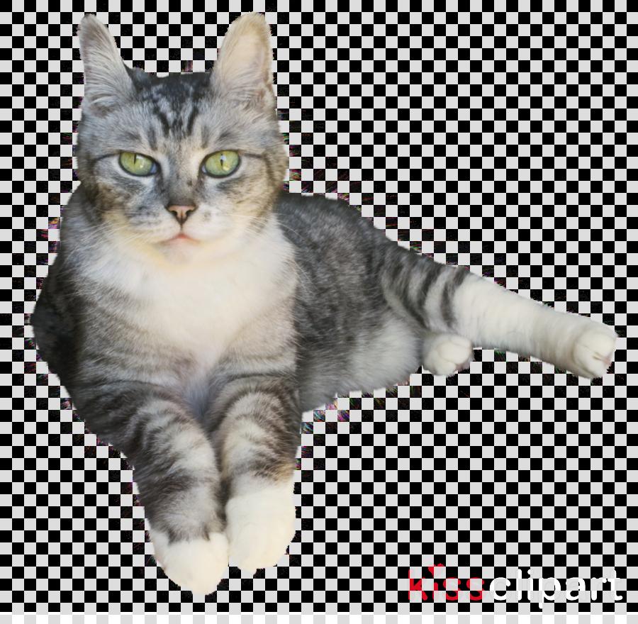 貓 素材 png clipart Kitten American Shorthair American Wirehair