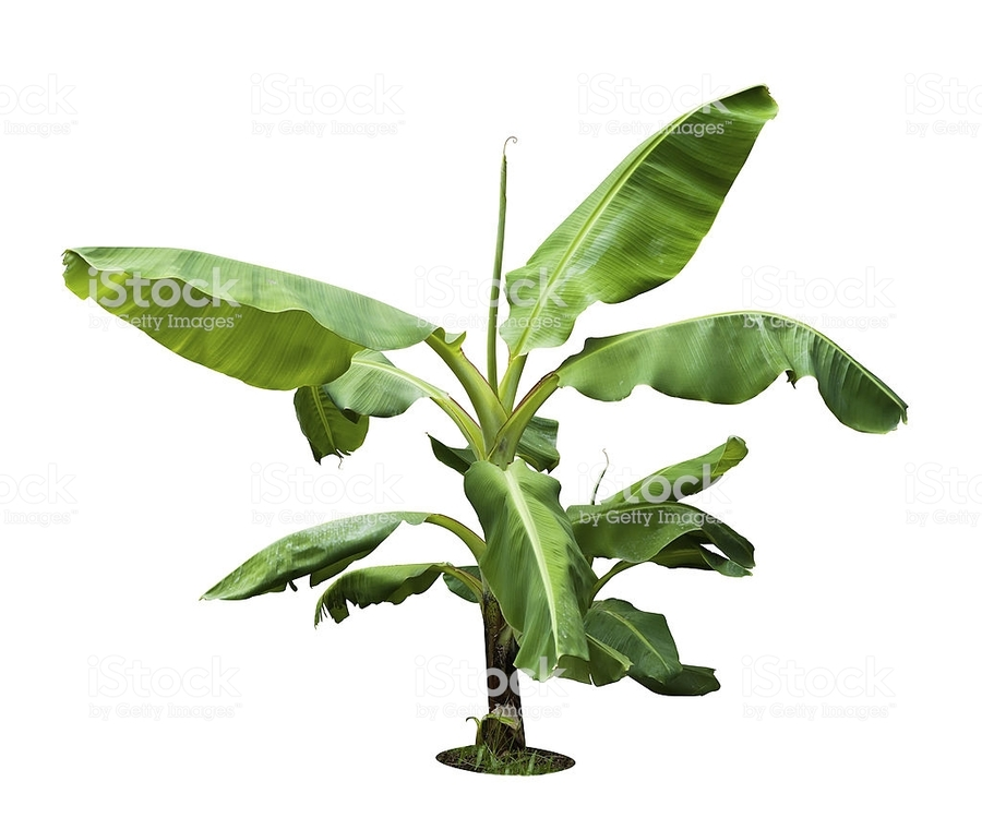 Banana Tree Leaf Plants Plant Png Clipart Free Download