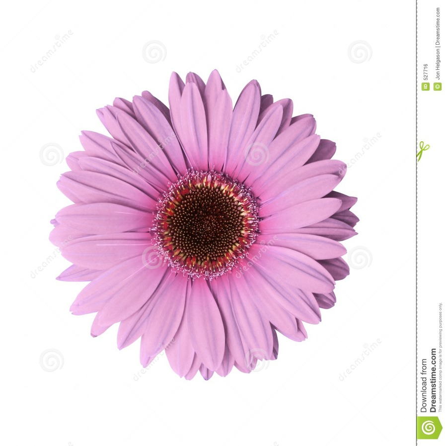 Download Gerbera Flower Clipart Transvaal Daisy Stock Photography