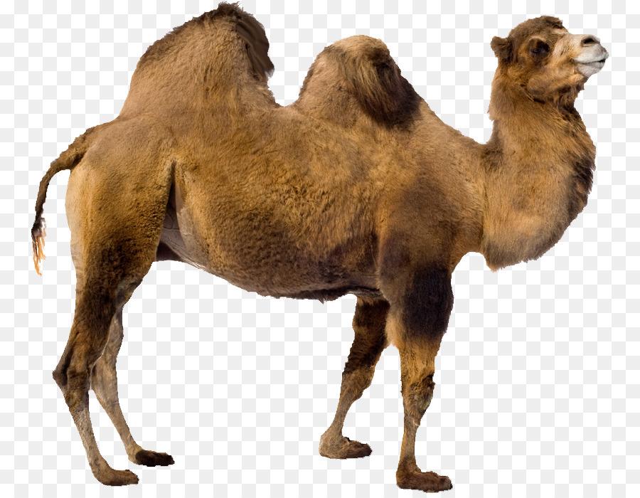 camel transparent background clipart Bactrian camel