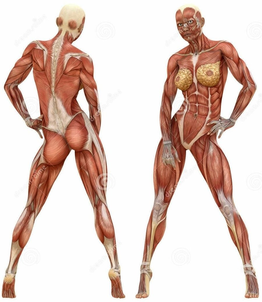 Download Female Anatomy Muscles Clipart Human Body Muscular System