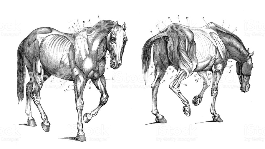 Download Anatomie Kon Clipart Horse Equine Anatomy Horse Muscle