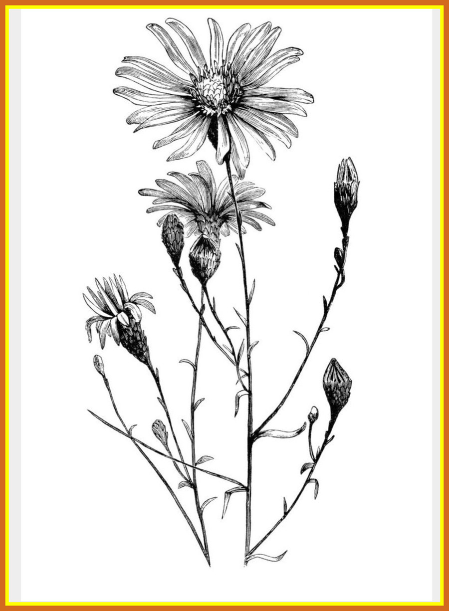 Download aster flower drawing clipart aster flower drawings aster flower drawing clipart aster flower drawings izmirmasajfo