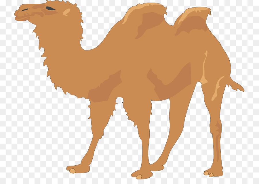 camel vector free clipart Bactrian camel Dromedary Clip art